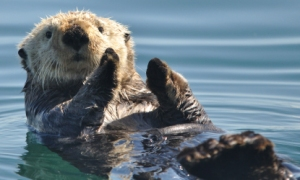 Sea otter in Glacier Bay.  Image courtesy of the National Park Service.