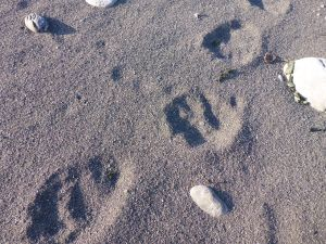 Some mighty big black bear tracks along the lost coast.