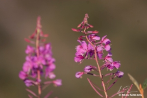 Fireweed stalks flowering, 2012.  Photo by Sean Neilson.